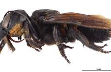 38 éve kihaltnak hitték, de most újra felbukkant ez a gigantikus méhfajta