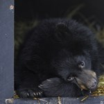 Bekísértek az őrszobára egy medvebocsot