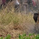 Videó: Őrült ámokfutást rendezett egy leopárd egy indiai faluban