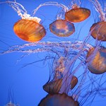 Medúzainvázió a francia partoknál