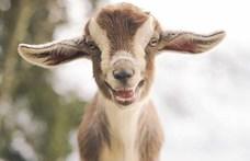 Kíváncsi kecske lépett be egy győri boltba, a pénztár is nagyon érdekelte