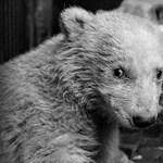 Elpusztult a berliniek kedvenc jegesmedvebocsa
