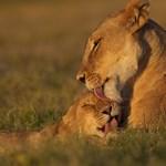 Dél-Afrikában elszabadult tizennégy oroszlán