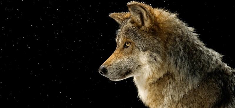 Farkas kolbászolhatott egy osztrák sípályán