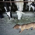 Öngyilkos tempóra kényszerülnek a magyar tejtermelők