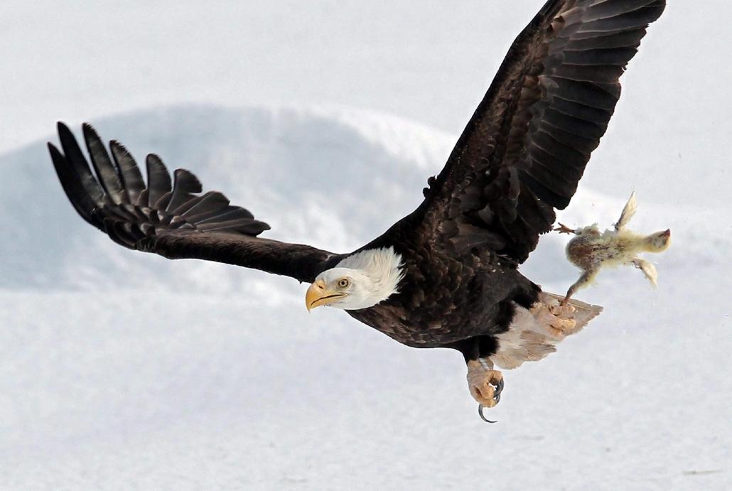 AP_! - márc.13-ig_! - 15.02.27. - Sheffield Mills, Új-Skócia, Kanada: fehérfejű rétisas egy közeli farmról zsákmányolt csirke tetemével - 7képei