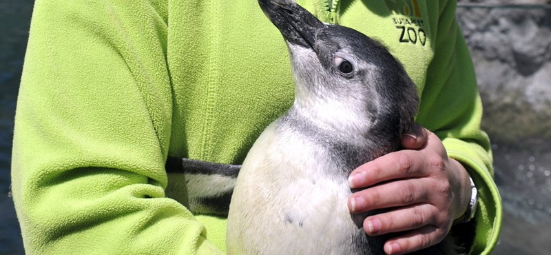 Ha elege van a politikai hírekből, nézegessen négy hónapos pingvinfiókát!