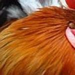 Ki látott már brit csirkefeldolgozót lengyel munkások nélkül?
