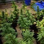 Újabb amerikai államban legalizálták a marihuanát