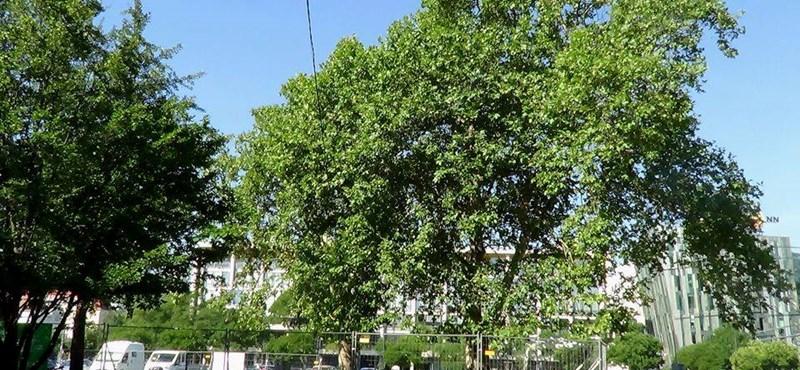 Újabb faátültetés a Városligetben
