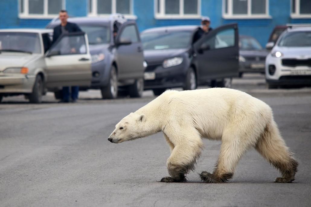 nagyítás afp.19.06.17. jegesmedve, oroszország