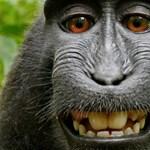 Turistáktól lopott holmikkal seftelnek a majmok, nagyon emberiek