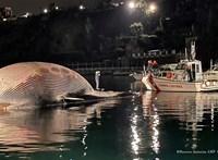 Óriási bálnatetemet vontattak Nápolyba