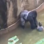 Óriási a felháborodás a cincinnati gorilla kilövése miatt