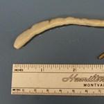 A kihaltnak vélt óriásférgeket találtak