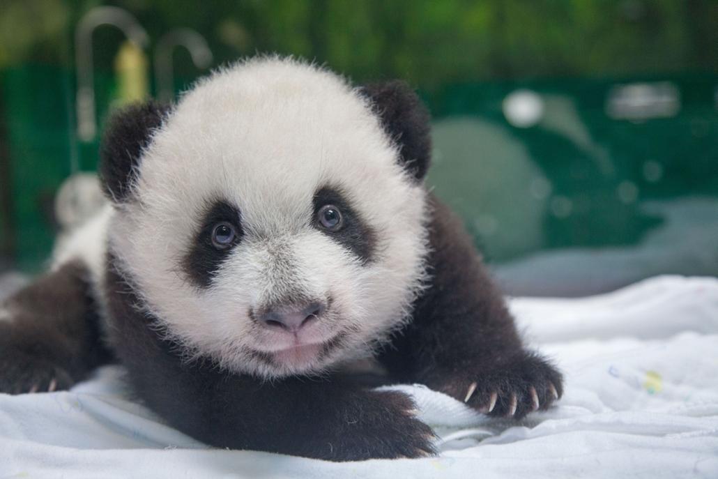 afp. hét képei - 2014.11.05. Guangzhou, Kína, 100 napos pandaikrek