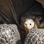 Földhöz csapják a csimpánzok a teknősöket, hogy megehessék őket
