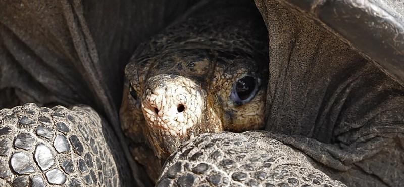 Megtalálták a kihalt galápagosi óriásteknősök leszármazottait