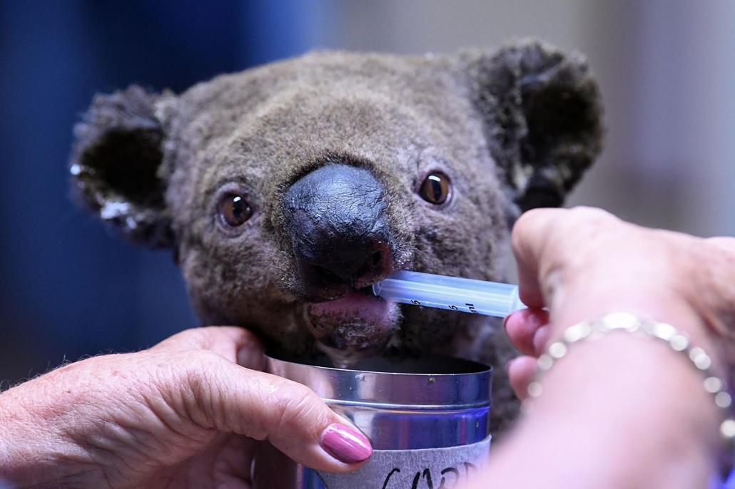 afp.19.11.02. Bozóttűzben megsérült koala a Port Macquarie Koala kórházban 2019. november 02.