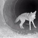 Így vadászik együtt a prérifarkas és a borz – videó