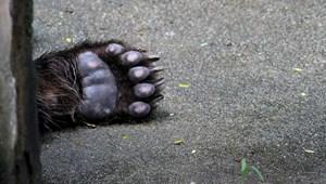 Négy autóval ütközött egy medve Romániában