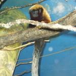 Új kismajomfajt fedeztek fel Dél-Amerikában
