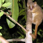 Megérte a tudósoknak a világ legapróbb majmait figyelni Madagaszkáron