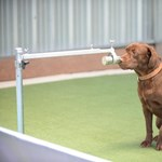 A román rendőrség kutyái 100 százalékos pontossággal ismerik fel a koronavírusos mintákat