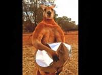 Elpusztult Roger, a robosztus ausztrál kenguru
