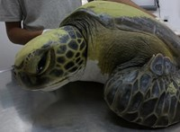Egy hónapig ürítette magából egy teknős a műanyag szemetet