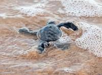 Nagy a baj, a kihalás szélére sodródtak a tengeri teknősök