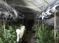 Gombapincében termesztett kannabiszt
