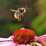 Rászokhatnak a méhek a rovarirtók ízére