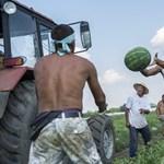 Megint túl olcsó a dinnye a magyar termelők szerint