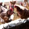 Olcsó a csirkecomb, de talán szennyezett, maradhat?