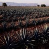 Tequila mellett kézfertőtlenítő is készülhet agávéból