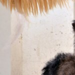 Elnevezték a budapesti tevecsikót, és már a púpja is nő