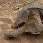 Ez a teknős a kihalástól mentette meg saját faját