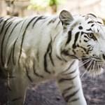 Megölte gondozóját egy japán állatkert fehér tigrise