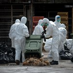 Már majdnem félmillió állatot öltek le a járvány miatt