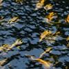 Akik mindenkinél jobban élvezik a hidegfrontot: Lillafüred híres pisztrángjai nyomában