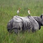 Több ritka orrszarvú is elpusztult az áradások miatt Indiában