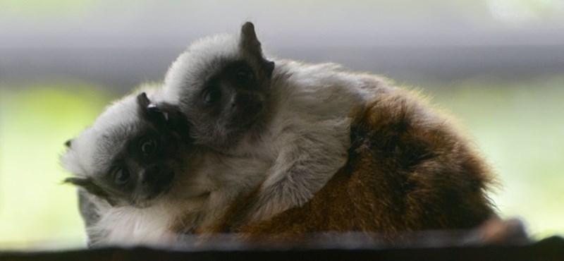 Csupaszpofájú tamarinok születtek a Szegedi Vadasparkban