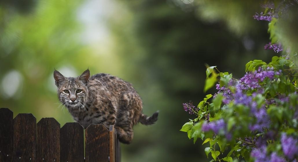AP_! máj.24-ig_! - Colorado Springs, USA: hiúz a kerítésen