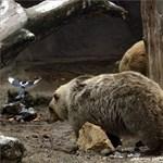 Fotók: Nem látták meg árnyékukat a mackók, rövid lesz a tél