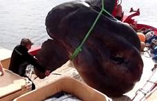 Két embert is kitesz, akkora holdhalat fogtak Afrikában – videó