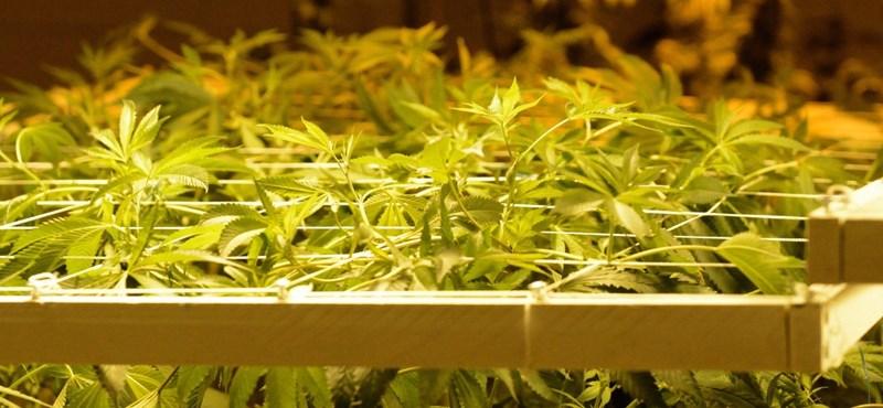 Ingyen marihuánát adnának a koronavírus elleni oltásért Washingtonban