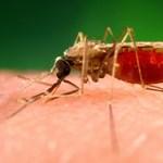 Génmanipulált gombácska veszi fel a harcot a malária ellen