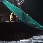 Vészjelzés a nagyipari halászat miatt elpusztított delfinek védelmében – videóval