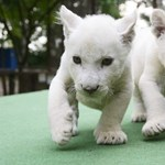 Német fehér oroszlánról és a Feröer-szigetekről szól a szövegértés